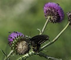 Butterfly_SAF1304 (sara97) Tags: butterfly copyright2016saraannefinke flyinginsect insect loneelkpark missouri nature outdoors photobysaraannefinke pollinator saintlouis