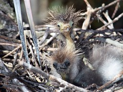 The Little Aliens (PelicanPete) Tags: tricoloredheron wild egrettatricolor inthewild parentandoffspring nest inthenest wingspan florida northernflorida unitedstates usa saintaugustineflorida rookery summer2016 brightsunlight coolshade outdoor animal blue aviancapture hotsummer feathers plumage cute wildlifephotography bird family thelittlealiens newborn babies young badhairday ugly pair aliens siblings closeup specanimal dmslair specanimalphotooftheday sunrays5 wackyhairdos 2ndplacecompetitionwinner themewildwackyhairdos sept2016 tmigoup