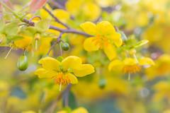 Winter Yellow (satochappy) Tags: ochna nsw sydney winter australia yellow flowers macro