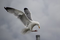 Seagull landing on a pole. (Seckington Images) Tags: seagull flickr
