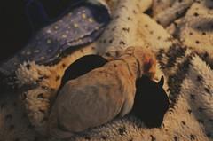 miss #dog #love #harry (lucianavelez) Tags: harry love dog