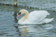 Swan_Mute05.jpg (T9FURY) Tags: june rutlandwater muteswan 2016