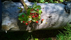 WP_20160703_12_20_35_Pro1 (julia.samoilenko) Tags: forest strawberry berry wood rest summer colourful colorurs colorful colors sunny nature