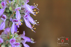 Small-leaf Mexican Mint (~~ Y.C.CHEN) Tags: flower plant purple yellow green light beautiful bokeh canon color 7d marco