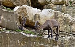 Bouquetins (Diegojack) Tags: nikon nikonpassion d7200 garenne levaud parc animalier bouquetins animalires