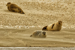 Zwei von Dreien beobachten dich. Two of three are watching you. 1C4A9579 (manfredkrber) Tags: seals seehunde sandbank nordsee canon 5d mark iii