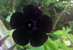 Black Blossom (~~Doris~~) Tags: austria nature blossom blackflower black blume flower