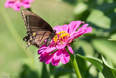 Black Eastern Tiger Swallowtail (BirdFancier01) Tags: nature garden flowers zinnia pink black swallowtail tiger