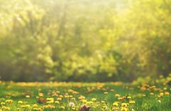 Midsummer Dream (charhedman - away on vacation) Tags: dandelions fieldofflowers trees grass light summer dreams