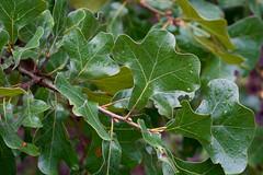 Quercus aff. marilandica (Eric Hunt.) Tags: prickle quercusaffmarilandica foliage green redoak fagaceae quercus blackjackoak leaf