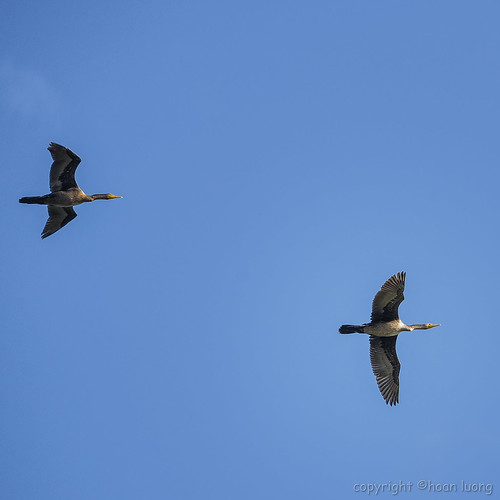 Double-crested Cormorant (Cormoran à aigrettes)