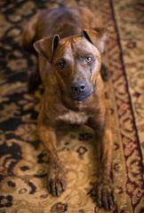 Velveteen Odin (Maggie McGunigle) Tags: dog daylight brindle rescue pet petportrait portrait puppy adopt pitbull mutt mix natural lighting littledoglaughedstories animal shiny odin odysseus ears scar brown