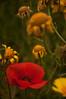 Red and Yellow (Tony Shertila) Tags: vacation holiday fish flower geotagged flora europe cross floor mosaics cyprus christian poppy symbols marigold curium guineafowl mosai cyp kourion archiology eustolios episkopí geo:lat=3466468174 geo:lon=3288789511 eparchíalemesoú