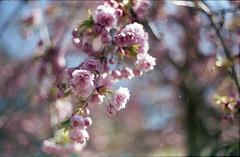 Rositude (Polcaroid) Tags: flowers color tree fleur rose analog fleurs canon de photography 50mm gold spring kodak bokeh pastel arbres analogue canonae1 cerisier argentique pdc twop