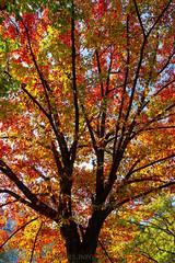 Central Park Tree In Autumn (SamuelWalters74) Tags: newyorkcity autumn trees newyork unitedstates centralpark manhattan fallcolors places autumnleaves autumncolors fallfoliage centralparkinautumn