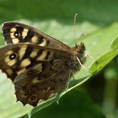 Speckled Wood Butterfly (Ben Wightman) Tags: uk macro butterfly speckledwood parargeaegeria macromondays itsallaboutthenaturallight