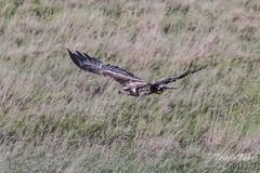 Juvenile Bald Eagle flight