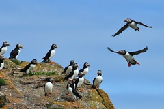 Puffin Landing (andyt1701) Tags: pembrokeshire skomer