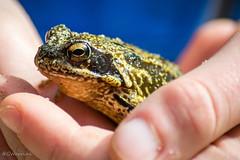 ...and frogs (G. Warrink) Tags: animal denmark amphibian frog ferring bovbjerg