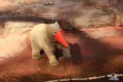 Eisbr Fiete im Zoo Rostock 23.05.2015 225 (Fruehlingsstern) Tags: polarbear eisbr fiete zoorostock