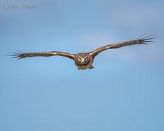 Northern Harrier 20150302_8996 (GORGEous nature) Tags: winter bird water female march flying washington scenic predator wetland vertebrates northernharrier circuscyaneus clarkco ridgefieldnwr johndavis