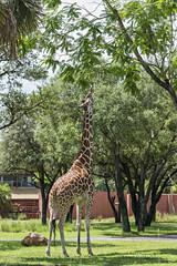 Within Reach (Find The Apex) Tags: animals disney disneyworld giraffe wdw waltdisneyworld animalkingdomlodge reticulatedgiraffe disneyresort disneysanimalkingdomlodge