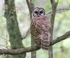 Barred Owl (PeterBrannon) Tags: bird florida hillsboroughcounty nature strixvaria tampa wildlife barredowl owl portrait