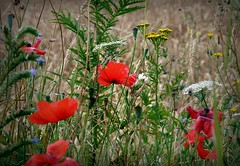 2016-07-25 wheat field and wild flowers  (20)flickr (april-mo) Tags: wildflowers fleurs nature red poppies coquelicots