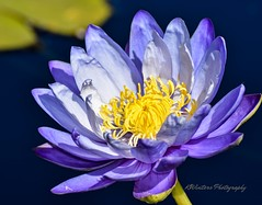 Pond Beauty (KWinters Photography) Tags: colorado nature outdoor nikonflickraward macro closeup nikondsl nikon d7200 flickr waterlily colors flower
