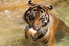 Cooling Off (greekgal.esm) Tags: california water pool animal cat mammal losangeles feline sony tiger bigcat cj sumatrantiger griffithpark lazoo losangeleszoo carnivore castrojr sal70300g a77m2 a77mii