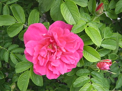 ** Une rose... ** (Impatience_1 (Mon PC- probl. interm.)) Tags: rose fleur flower hommage homage tribute 14juillet2016 attentatnice m impatience explore explorer xplor wonderfulworldofflowers saveearth supershot coth ngc fantasticnature alittlebeauty abigfave coth5 sunrays5