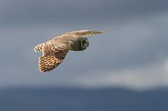Jordugle (hdahlby) Tags: jordugle owl shorteared harald dahlby ørland asioflammeus