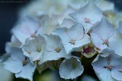 Blushing hydrangea (Ollie_57.. on/off) Tags: flower bloom plant shrub flora petals hydrangea macro dof bokeh tamronsp90mm canon 7d white nature july 2016 summer holcombe devon england uk affinityphoto ollie57 ngc