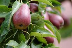 (Px4u by Team Cu29) Tags: birne birnen obst frisch ernten erntefrisch birnenbaum laub birnenlaub laubbaum kernobst baum