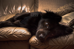 Lazing around (explored) (Jon.the.canadian) Tags: dog cute animal animals puppy canine precious schipperke around awe lazing