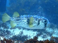 Porcupine Fish whilst Scuba diving Jul 2016 at Gordons Bay, Sydney (sarah.handebeaux) Tags: gordons bay sydney australia scuba diving july 2016