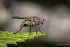 Bit of change - Macro of a fly (Turk Images) Tags: elkislandnationalpark alberta flys macro summer