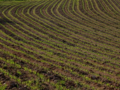 Comme les lignes de la main (CcileAF) Tags: canon countryside fields colour crops agriculture nature minimalist shapes lines green lights
