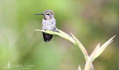 IMG_2219_edit_reszied_wm (Lisa Snow Photography) Tags: hummingbird