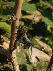 Gewone oeverlibel (Orthetrum cancellatum) + (Frank Berbers) Tags: insect libelle odonata anisoptera libelludae orthetrum echtelibelle korenbout oeverlibelle   paring orthetrumcancellatum copulation gewoneoeverlibel groseblaupfeil blacktailedskimmer segellibelle dragonfly zuidlimburg vaesrade macro