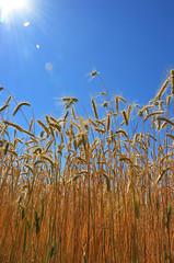 Sun Flare Over Cereal (pokoroto) Tags: sun flare over cereal  alberta canada  7   shichigatsu fumizuki bookmonth 2016 28 summer july