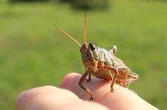 Grasshopper (Heather Burditt) Tags: insect grasshopper vermont monkton bugs wideanglebugs antenea