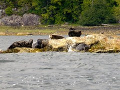 P1000712 (Tipfinder) Tags: kanada canada vancouverisland portalberni tofino ucluelet pacificrimnp long beach bearwhatching hotspringcove