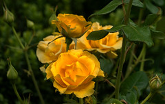 Bunch of yellow roses (leonardcox304) Tags: bunch yellowroses