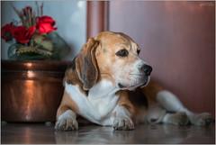 _DSC1564-copia (LesPauly) Tags: dogs beagle muttley sonya7r2 batis85