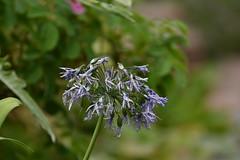 Pale blue (JerryGoulet) Tags: kewgardens flower d500 nikon blue paleblue colours light focus soft