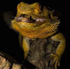 hulk (theGR0WLER) Tags: dentist bearded dragon lizard reptile pablo growl hulk tongue scales arms head throat muscle branch log orange yellow canon canonpowershotsx50hs