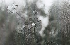 Schwurbelblume (Turikan) Tags: nikon f3 nikkor 50mm f14 offene blende blume verschwurbelungen malve kodak trix rodinal stand dev