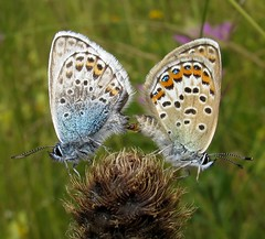 Silver-studded Blue - Plebejus argus (Camerar) Tags: pyrenees france butterflies insect butterfly lycaenidae silverstuddedblue plebejusargus pair