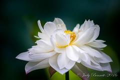 2016_HoumasHouse__JAB1444_12954 (jben1022) Tags: houmashouse lotusflower